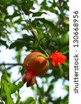 punica granatum fruit | Shutterstock . vector #130668956