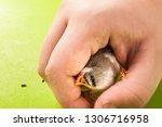 hand bird zebra finch on hand... | Shutterstock . vector #1306716958