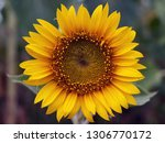 blooming bright sunflower close ... | Shutterstock . vector #1306770172
