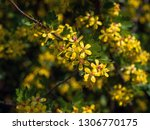 spring flowers. yellow flowers... | Shutterstock . vector #1306770175