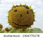 blooming bright sunflower close ... | Shutterstock . vector #1306770178