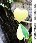 heart shaped leaves. close up... | Shutterstock . vector #1306833532