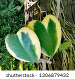leaves the heart naturally... | Shutterstock . vector #1306879432