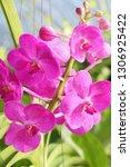 orchid flower in garden   Shutterstock . vector #1306925422