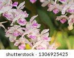 orchid flower in garden   Shutterstock . vector #1306925425