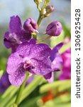 orchid flower in garden   Shutterstock . vector #1306925428