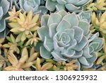 beautiful stone rose flowers    Shutterstock . vector #1306925932