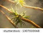 Tropical Airplants  Tillandsia...