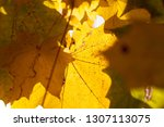 yellowed foliage of deciduous... | Shutterstock . vector #1307113075