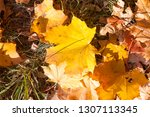 yellowed foliage of deciduous... | Shutterstock . vector #1307113345