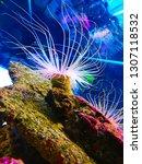 sea anemone  tube anemone  copy ... | Shutterstock . vector #1307118532