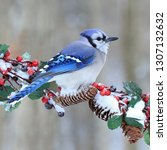 A winter Bluejay at a festive branch with red berries.