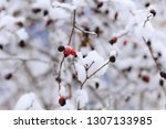 covered by snow dog rose... | Shutterstock . vector #1307133985