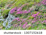 flowering rocky edge in spring... | Shutterstock . vector #1307152618