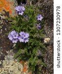 Small photo of Sky Pilot (Polemonium viscosum) purple wildflowers in the Beartooth Mountains of Montana