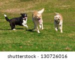 Beautiful Labradors Playing...