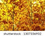 yellow and orange young leaves... | Shutterstock . vector #1307336932