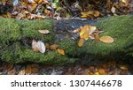 autumn leaves on mossy tree... | Shutterstock . vector #1307446678