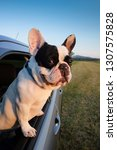 cute frenchie puppy looks from... | Shutterstock . vector #1307575828