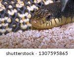 brown venomous snake snout ... | Shutterstock . vector #1307595865
