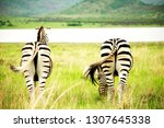 Two Zebra Grazing Grasslands Pilanesberg - Fine Art prints