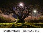 a majestic big old english oak... | Shutterstock . vector #1307652112