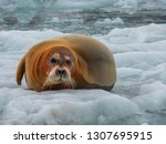 boarded seal lying on the... | Shutterstock . vector #1307695915