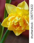 Spring yellow narcissus with water drops on petals. - stock photo