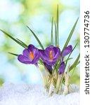 Beautiful Purple Crocuses On...
