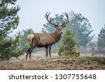 Red Deer In The Heathland