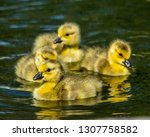 Four Goslings swimming together