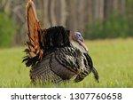 Strutting Turkey Profile