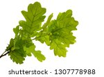 branch with green leaves of oak ... | Shutterstock . vector #1307778988