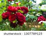 red roses blooming in garden at ... | Shutterstock . vector #1307789125