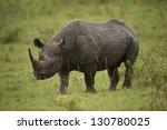Black Rhinoceros In Masai Mara...