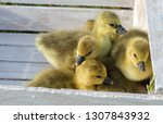 Cute little yellow goslings standing in front of a group in a white box. Young brood of seroukrainsky goose. Young goose