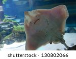 Underside Of Stingray  Showing...