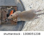disposal dead mouse caught in... | Shutterstock . vector #1308051238