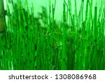 bamboo water plants with cool... | Shutterstock . vector #1308086968