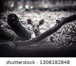 A Marshbuck  Antelope  Sitting...