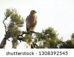 close up of a tawny eagle... | Shutterstock . vector #1308392545