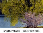 japanese flowering cherry tree... | Shutterstock . vector #1308405208