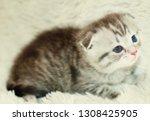 Stock photo the kitten meows shouts purebred kitten baby kitten 1308425905