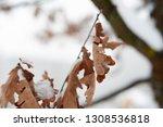 orange leaves on the deciduous... | Shutterstock . vector #1308536818