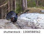 capercaillie  tetrao urogallus  ... | Shutterstock . vector #1308588562