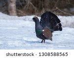 capercaillie  tetrao urogallus  ... | Shutterstock . vector #1308588565