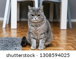 a british cat is sitting on the ... | Shutterstock . vector #1308594025