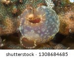 solitary tropical ascidian | Shutterstock . vector #1308684685