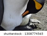 king penguin with his egg on...   Shutterstock . vector #1308774565