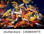 Colorful Fancy Carp Fish  Koi...